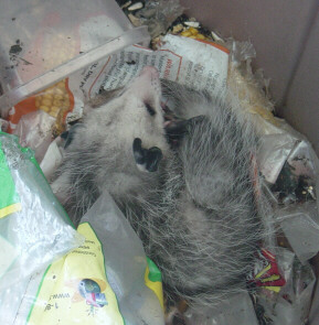 baby oppossum in feed barrel