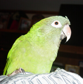 fred, our blue-headed conure
