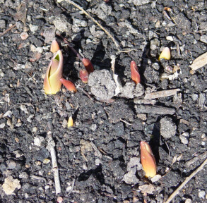 tulips are breaking ground