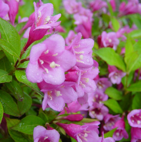 weigela blooming